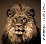 Male Lion  Highly Distinctive ...