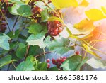 Red Wine Grapes On The...