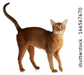 Small photo of Purebred abyssinian cat isolated on white background