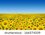 Sunflower Field Over Cloudy...