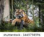 Tiger Resting In The Zoo