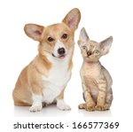 Stock photo portrait of a pembroke welsh corgi and devon rex kitten on white background 166577369