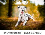 Dalmatian  In Grass Black And...