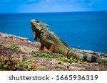 Iguana Basking In The Sun In...