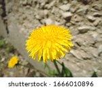 Macro Photo Of A Dandelion...