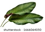 Calathea ornata leaves pin...