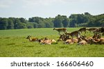 Deer Herd In Dyrehave Park Nea...