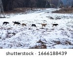 A Flock Of Feral Stray Dogs On...