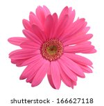 dark pink gerbera  isolated on... | Shutterstock . vector #166627118