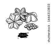 sacha inchi vector drawing.... | Shutterstock .eps vector #1666313833