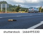 Possum Killed By A Car In The...