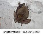 The Brown Long Eared Bat Commo...