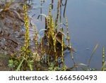 Colony Of Water Horsetail Or...