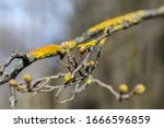 Early Spring In Kiev. Buds Are...
