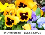 Yellow And Blue Pansies In...