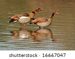 A Pair Of Egyptian Geese ...