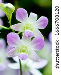 """Small photo of Flower – Orchid Flora Display. """"Dendrobium Lucian Pink"""" Dendrobium Walter Oumae × Dendrobium Lois Anderson"""