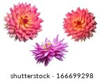 two colors of dahlia on white... | Shutterstock . vector #166699298