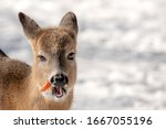 A Whitetail Deer Eating A...