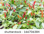 Red Pepper On Tree