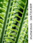 Curled Green Fronds Of A Sago...