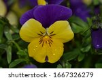 Violet And Yellow Multicolor...