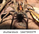 Small photo of A venomous spider of the genus Phoneutria, family Ctenidae, who has potential medical significance to humans, found in South America.