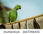 Isolated red ringed parakeet on ...