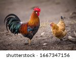 Domestic Rooster Portrait In...