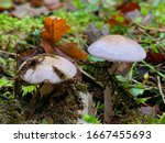 Two Tiny White Mushrooms On A...