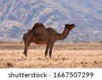 Dromedary Camel  Camelus...