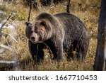 Full body portrait of grizzly bear standing and finding some food on floor, field covered by brown grass during autumn in Yellowstone National Park, Wyoming, USA.