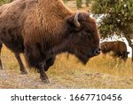 Half body portrait of american bisons with brown furry walking around and eating dry grass on field of Yellowstone National Park, Wyoming, USA.