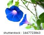 Blue Flower Of Morning Glory On ...