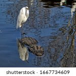 A Great Egret Standing On The...