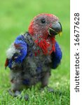 Baby Red Sided Eclectus Parrot