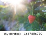 Green and red strawberries in agricultural plots create growth awaiting harvest. - stock photo