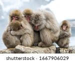 Huddle of Snow Monkey family with snow background