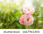 Pink Rose Flower With Morning...