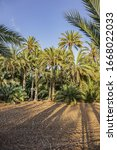 Spain city of Elche (Elx) is famous for the palm tree forests. Palmeral of Elche (or Palm Grove of Elche, about 70,000 palms) - the most southern palm grove in Europe. Elche, Spain.