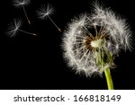 Dandelion Seed Head Isolated O...