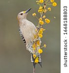 A Golden Fronted Woodpecker On...