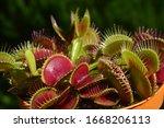 Dionaea Muscipula Typical Form...