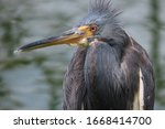 Tricolored Heron Close Up...