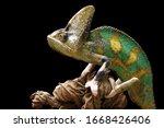 Pied veiled chameleon on dry...