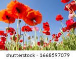 Superb View With Poppies...