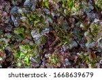 fresh organic green oak lettuce ...   Shutterstock . vector #1668639679