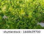 fresh organic green oak lettuce ...   Shutterstock . vector #1668639700