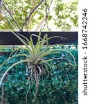 Small photo of Tillandsia in a garden,it also called airplants because of natural propensity to cling.Their leaves are covered with specialized cells capable of rapidly absorbing water that gathers on them, soilless