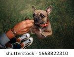 French Bulldog Dog Begging For...